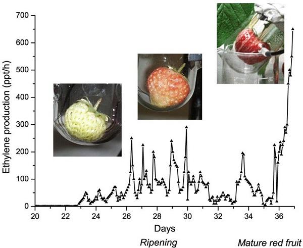 ethylenestrawberry-day-20-37
