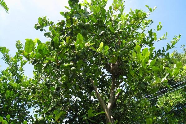magroodtree