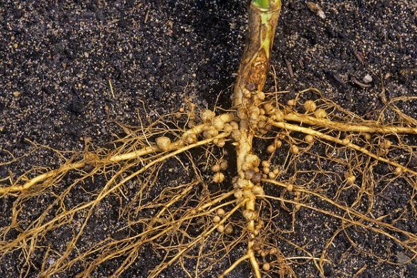 Nitrogen-fixing Bacteria Rhizobium Nodules on Soybean Roots