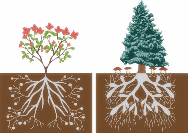 mycorrhizamai