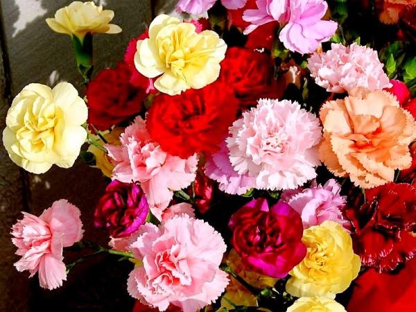 carnationdoks