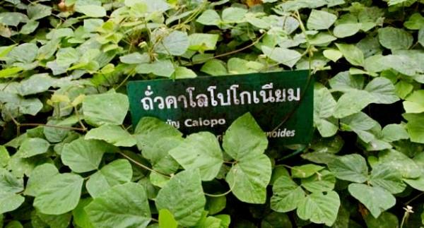 calopogoniuma