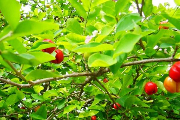 cherrybai