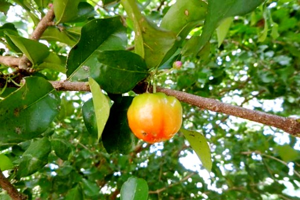 cherrypol